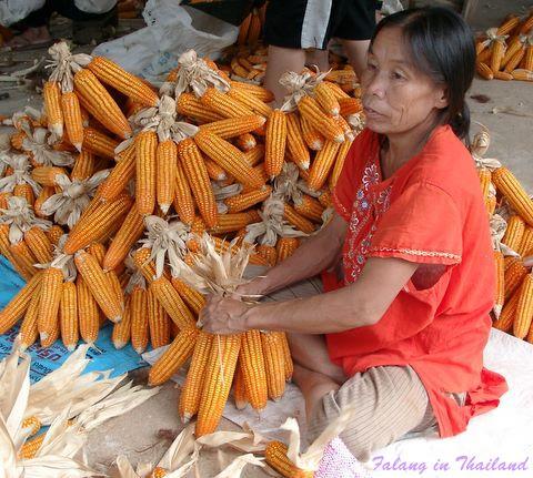 Thailändische Frau zur Maisernte