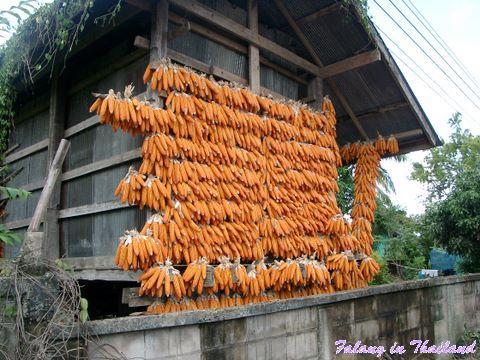 Maisernte Thailand