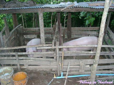 Schweinehaltung in Thailand
