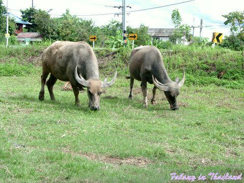 Wasserbüffel Thailand