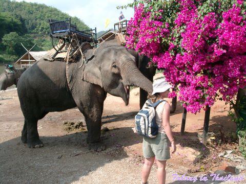 Thailändischer Elefant im Elefanten Camp