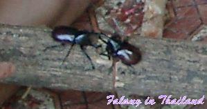 Käfer kämpfen in Thailand