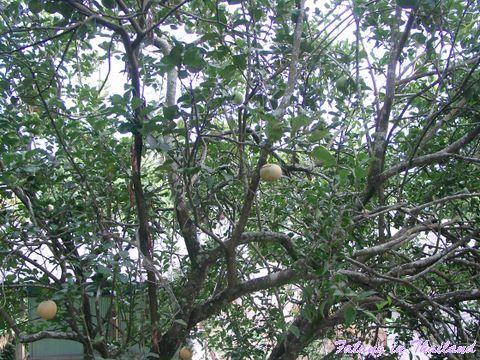 Blick in den Pampelmusenbaum