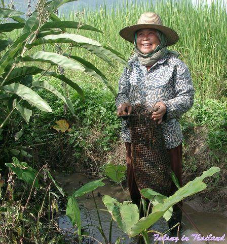 Thailändische Bäuerin fängt Krabben im Reisfeld
