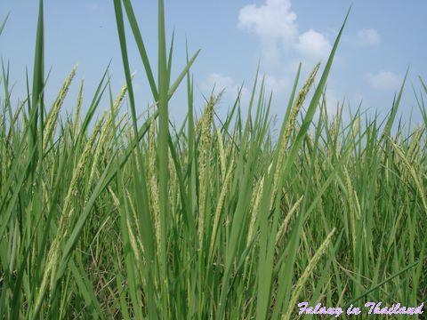Ähren im Reisfeld