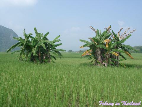 Palmen im Reisfeld Thailand