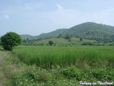 Reisfelder in Thailand und sanfte Hügel