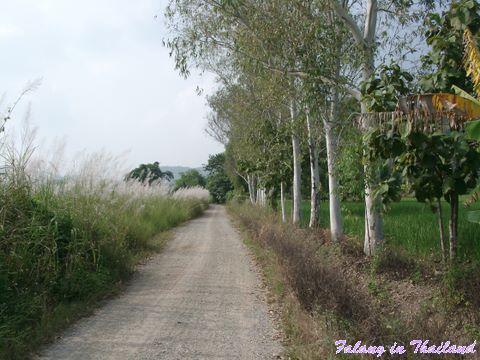 Hohes Gras am Weg Thailand
