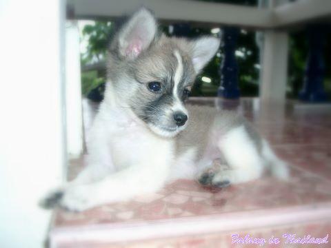 Kleiner thailändischer Hund