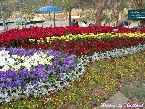 Weihnachtssterne Blumenausstellung Chiang Rai