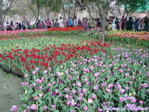 Tulpen in Chiang Rai