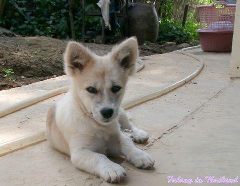 Kleiner thaländischer Hund - Tommy
