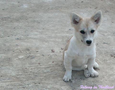 Tommy - kleiner thailändischer Hund