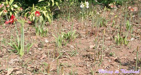 Ritterstern Hippeastrum Amaryllis