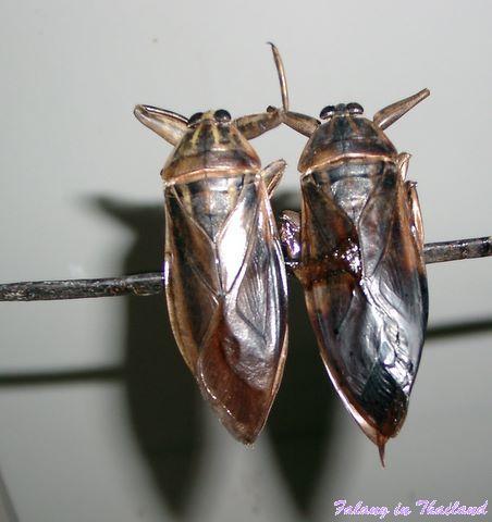 Insekten essen - Menk Daa