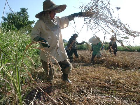 Reisernte in Thailand - Sicheln der Reispflanzen