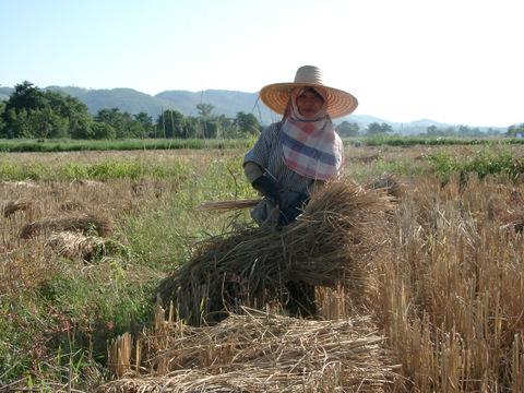 reisernte-thailand-stroh-buendeln-11300046